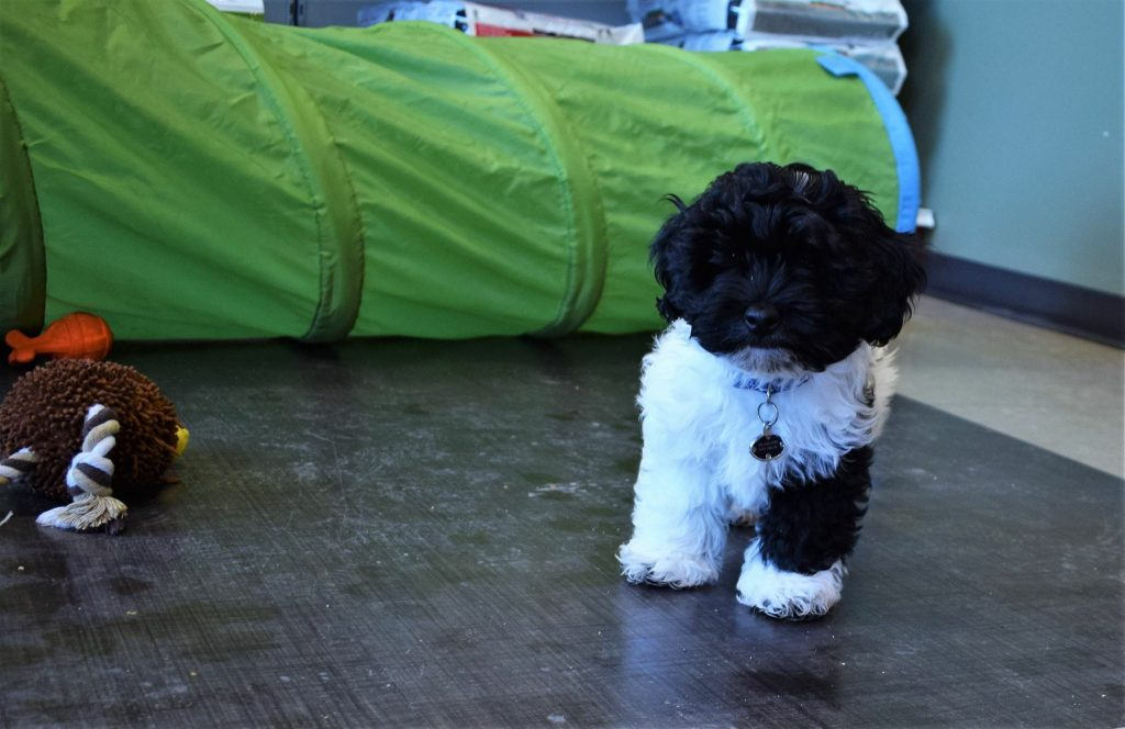 puppy classes in Edmonton, puppy playing in class with a tunnel